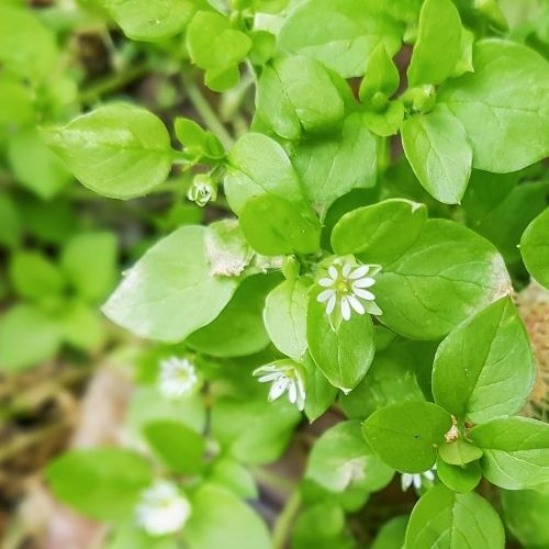 Lesson 5 Chickweed
